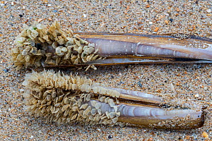 Egg cases / eggs of netted dog whelk (Tritia reticulata / Nassarius reticulatus) attached to Razor shells, ashed ashore on beach, Hauts-de-France, France, July  -  Philippe Clement