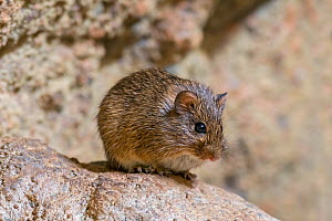Hispid cotton rat (Sigmodon hispidus) rodent native to South America, Central America, and southern North America. Captive - Philippe Clement