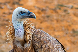 Griffon vulture (Gyps fulvus) close-up portrait, native to France and Spain in Europe. Captive  -  Philippe Clement