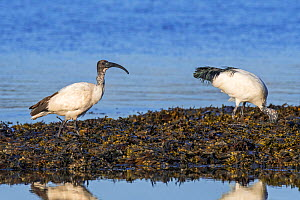 Two African sacred ibises (Threskiornis aethiopicus) introduced species foraging on seaweed covered beach along the Atlantic coast in Brittany, France, September - Philippe Clement