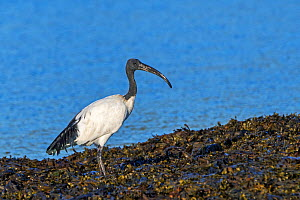 African sacred ibis (Threskiornis aethiopicus) introduced species foraging on seaweed covered beach along the Atlantic coast in Brittany, France, September - Philippe Clement