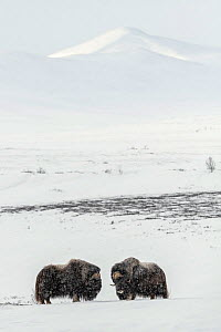 Muskox (Ovibus moschatos) males, Dovrefjell-Sunndalsfjella National Park, Norway, February.  -  Erlend Haarberg