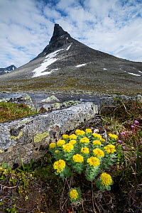 Golden root (Rhodiola rosea) in front of the mountain Kyrkja, Jotunheimen National Park, Norway, July.  -  Erlend Haarberg