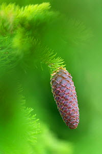 Norway spruce (Picea abies) cone, Innlandet, Norway, July.  -  Erlend Haarberg