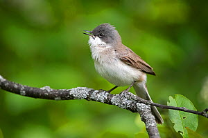 Lesser Whitethroat (Sylvia curruca) male in spring, Innlandet, Norway, May.  -  Erlend Haarberg