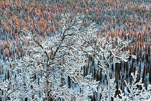 Frost- and snow-covered birch trees in the spruce forest (Picea abies), Muddus National Park, Laponia World Heritage Site, Swedish Lapland, Sweden, November,  -  Erlend Haarberg