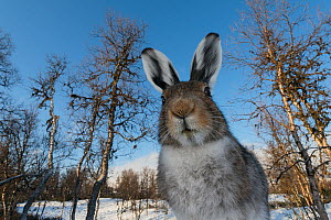 Mountain hare (Lepus timidus) in spring, Vauldalen, Norway, May.  -  Erlend Haarberg