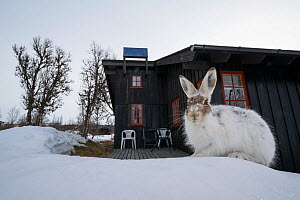 Mountain hare (Lepus timidus) in spring outside a Norwegian house, Vauldalen, Norway, May.  -  Erlend Haarberg