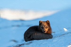 Arctic fox (Vulpes lagopus), Dovrefjell-Sunndalsfjella National Park, Norway, April. - Erlend Haarberg