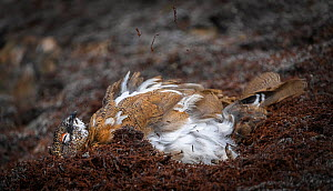 Rock Ptarmigan (Lagopus muta hyperborea) dust bathing, Svalbard, Norway, July.  -  Erlend Haarberg