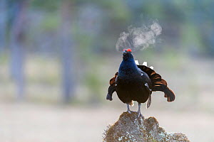 Black grouse (Lyrurus tetrix)male calling, early in the morning, Norway, May. - Erlend Haarberg