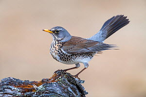 Fieldfare (Turdus pilaris), Vauldalen, Norway, May.  -  Erlend Haarberg
