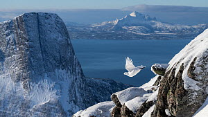 Rock ptarmigan (Lagopus muta) in flight, Tysfjorden, Nordland, Norway, March. - Erlend Haarberg