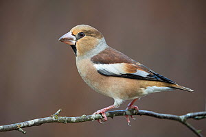 Hawfinch (Coccothraustes coccothraustes), Nordherad, Norway, October.  -  Erlend Haarberg
