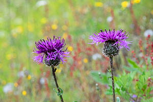 Greater knapweed (Centaurea scabiosa), Innlandet, Norway, July.  -  Erlend Haarberg