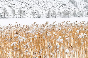 Common reeds (Phragmites australis) on a frozen lake, Sel, Norway, March. - Erlend Haarberg