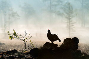 Black grouse (Lyrurus tetrix), male calling early in the morning, Norway. May.  -  Erlend Haarberg