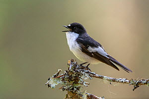 Pied Flycatcher (Ficedula hypoleuca) male calling, Trondelag, Norway, May.  -  Erlend Haarberg