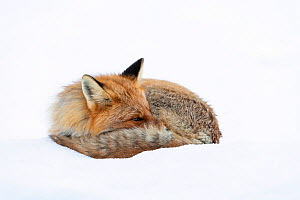 Red fox (Vulpes vulpes), on spring snow, Vauldalen, Norway, April. - Erlend Haarberg