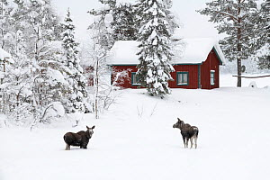 Moose (Alces alces), calves near house in winter, Jokkmokk, Sweden, February. - Erlend Haarberg
