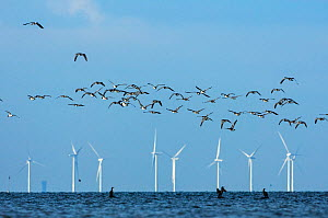 Barnacle geese (Branta leucopsis) flying in front of wind turbines, Falsterbo, Sweden, September. - Erlend Haarberg