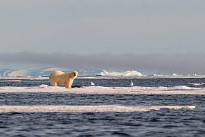 Polar bear (Ursus maritimus), male with his prey in the drift ice, Svalbard, Norway, July.  -  Erlend Haarberg