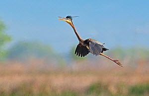 Purple Heron (Ardea purpurea) calling and flying over a reed bed,  Els Rodells Nature Reserve, Ebro Delta, Catalonia, Spain.  -  Roger Powell