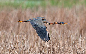 Purple heron (Ardea purpurea) flying over a reedbed. Els Rodells Nature Reserve, Ebro Delta, Catalonia, Spain.  -  Roger Powell