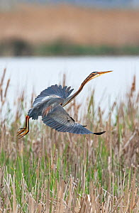 Purple heron (Ardea purpurea) taking off from its nest site. Els Rodells Nature Reserve, Ebro Delta, Catalonia, Spain.  -  Roger Powell