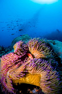 A pink anemonefish (Amphiprion perideraion) looks out from its host Magnificent sea anemone (Heteractis magnifica) with a school of Chevron barracuda (Sphyraena putnamiae) and a scuba diver in the bac...  -  Shane Gross
