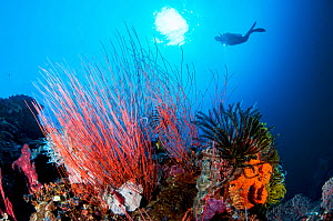 A scuba diver with light looks at a beautiful coral reef with feather stars (crinoid) and red whip corals / sea whips (Ellisella sp) in Kimbe Bay, Papua New Guinea.  -  Shane Gross