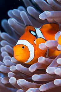 Portrait of False clown anemonefish (Amphiprion ocellaris) in anemone. Kimbe Bay, Papua New Guinea. - Shane Gross