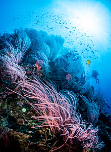 Coral reef scene with red sea whips (Ellisella sp) and a scuba diver in the background. Kimbe Bay, Papua New Guinea.  -  Shane Gross