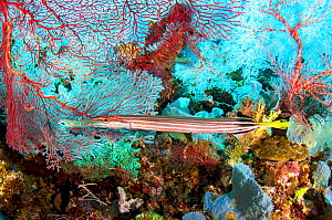 Chinese Trumpetfish (Aulostomus chinensis) surrounded by sea fans and other corals and sponges. Kimbe Bay, Papua New Guinea - Shane Gross
