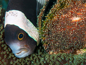 Clark's Anemonefish (Amphiprion clarkii) tending to her eggs. Kimbe Bay, Papua New Guinea - Shane Gross