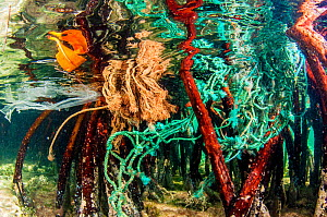 Plastic in the form of fishing nets and bags gets entangled in mangrove (Rhizophora mangle) roots, The Bahamas.  -  Shane Gross