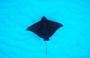A spotted eagle ray (Aetobatus narinari)   silhouette glides over a sandy seabed, The Bahamas.  -  Shane Gross