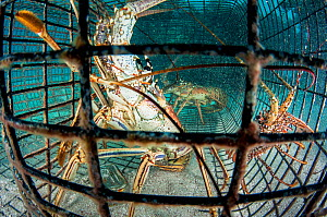 Caribbean spiny lobster (Panulirus argus) in a trap or fish pot in The Bahamas.  -  Shane Gross