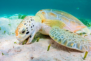Green sea turtle (Chelonia mydas) feeding on seagrass (Thalassia testudinum) in a shallow lagoon in The Bahamas.  -  Shane Gross