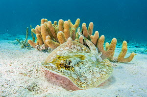 Yellow stingray (Urobatis jamaicensis) on sand seabed by  coral reef,  The Bahamas.  -  Shane Gross