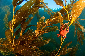 A kelp crab (Pugettia producta) feeding on Giant kelp (Macrocystis pyrifera) off San Diego, California, USA. Non-ex  -  Shane Gross