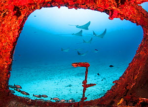 Spotted eagle rays (Aetobatus narinari) through a large window on the wreck of the former mine sweeper C-56 Juan Escutia. Cancun, Mexico. - Shane Gross