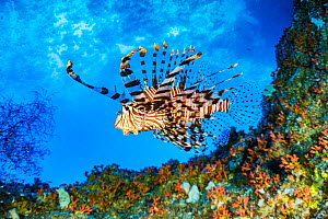 Red lionfish (Pterois volitans) swimming under a coral ledge, Palau.  -  Shane Gross
