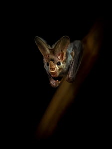 Portrait of a Ghost bat (Macroderma gigas) with dark background, captive, Adelaide Zoo, Australia.  -  Doug Gimesy