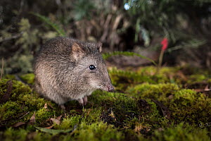 Long-nosed potoroo (Potorous tridactylus) portrait. Captive, photographed under controlled conditions at the Conservation Ecology Centre, Victoria, Australia. - Doug Gimesy