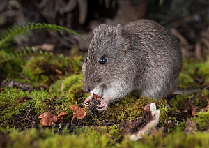 Long-nosed potoroo (Potorous tridactylus) eating fungi, showing sharp claws on front feet. Captive, photographed under controlled conditions at the Conservation Ecology Centre, Victoria, Australia.  -  Doug Gimesy