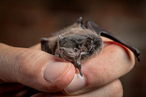 Gould's wattled bat (Chalinolobus gouldii). Rescued animal being held by wildlife carer.?? Captive, photographed under controlled conditions. ??North Melbourne, Victoria, Australia.?  -  Doug Gimesy