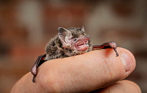 Little forest bat (Vespadelus vulturnus). Rescued animal being held by a wildlife carer. ??Captive, photographed under controlled conditions North Melbourne, Victoria, Australia.?  -  Doug Gimesy