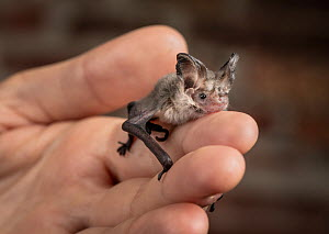 Lesser long-eared bat (Nyctophilus geoffroyi). Rescued animal being held by wildlife carer. ?Captive, photographed under controlled conditions. ??North Melbourne, Victoria, Australia.?  -  Doug Gimesy