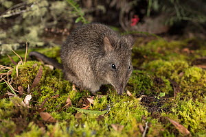Long-nosed potoroo (Potorous tridactylus) foraging on forest floor, Victoria, Australia. Controlled conditions.  -  Doug Gimesy